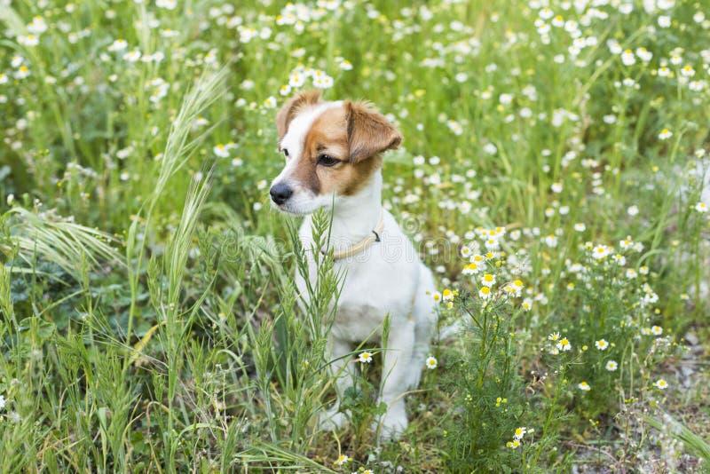 Petit jeune chien mignon parmi les fleurs et l'herbe verte Ressort photographie stock libre de droits
