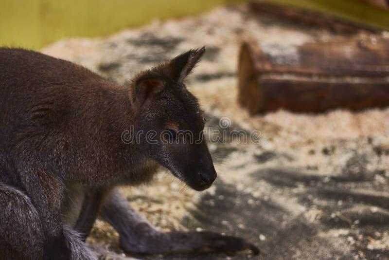 Petit kangourou torturé dans un zoo de contact moquerie animale Protection des animaux photos stock