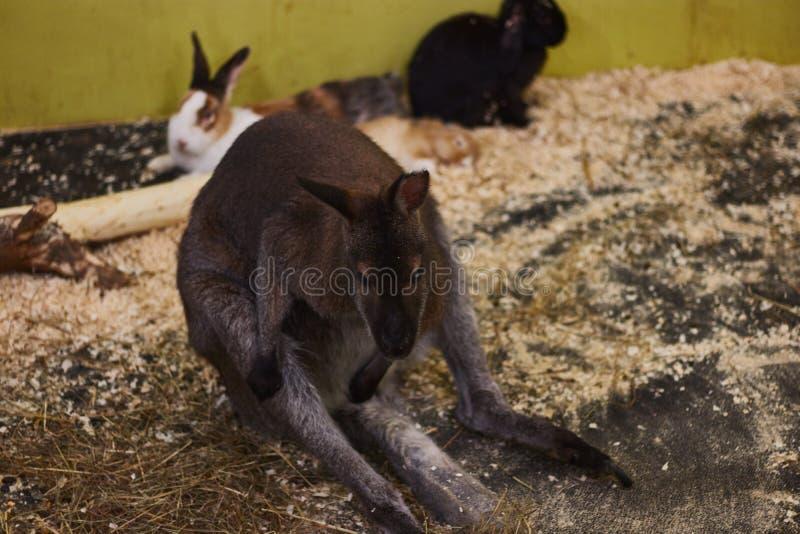 Petit kangourou torturé dans un zoo de contact moquerie animale Protection des animaux photo stock