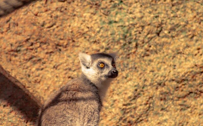 Petit lémur d'intérêt situant et regardant photo libre de droits