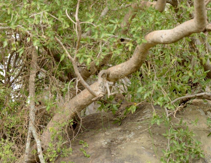 Petit léopard caché dans un arbre images libres de droits