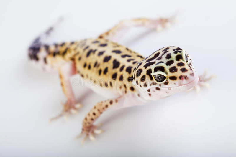 Petit lézard de reptile de gecko photos stock