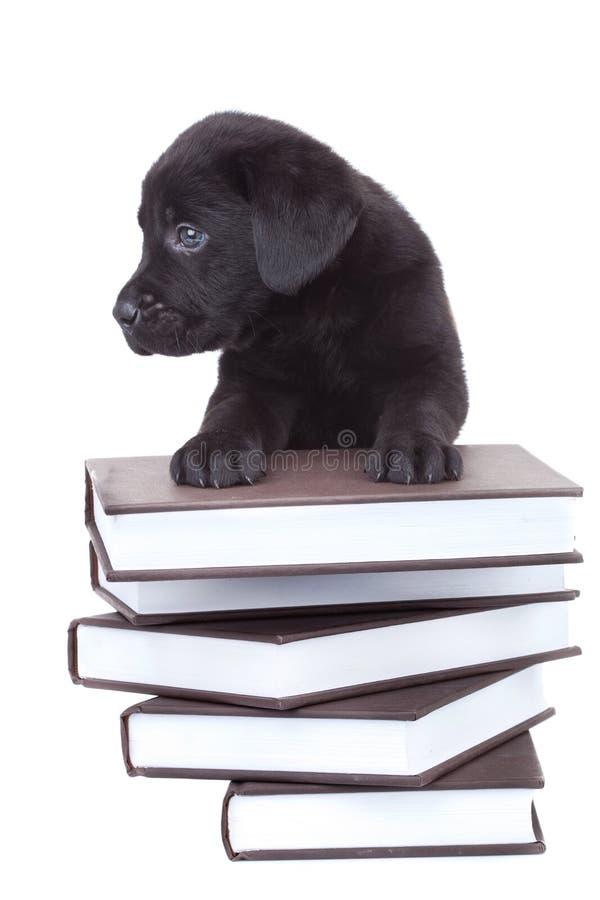 Petit Labrador intelligent photo libre de droits