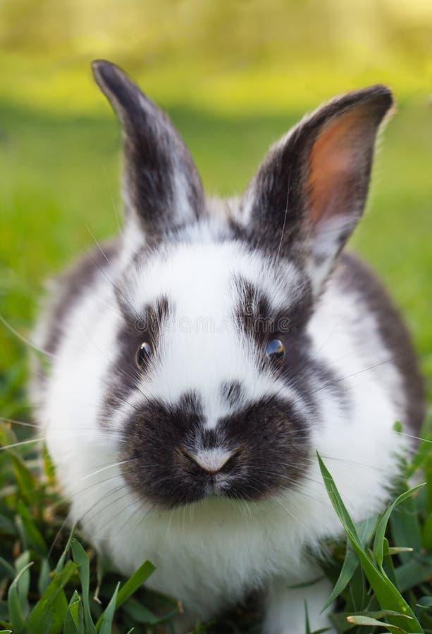Petit lapin sur l'herbe verte photo libre de droits