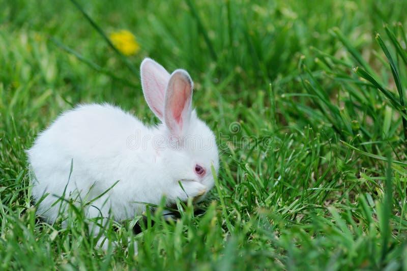 Download Petit lapin sur le champ photo stock. Image du faune - 87707814