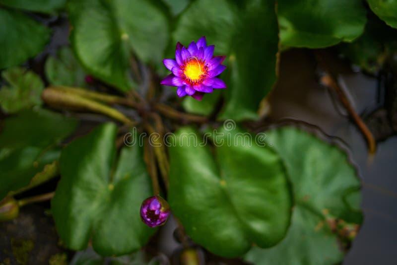 Petit lotus photographie stock libre de droits