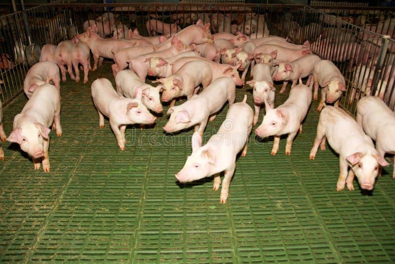 Petit ménage de porcs à la ferme d'animaux rurale image stock