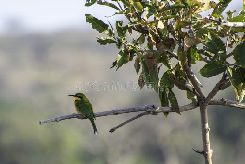 Petit mangeur d'abeille - oiseaux du grand parc franchissant les frontières de Lumpopo photographie stock libre de droits
