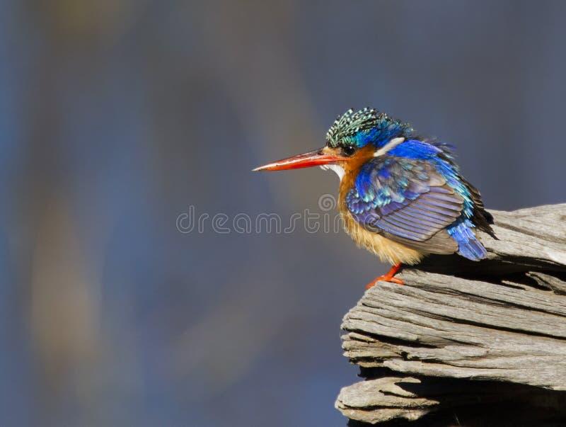 Petit martin-pêcheur étonnant de malachite photographie stock