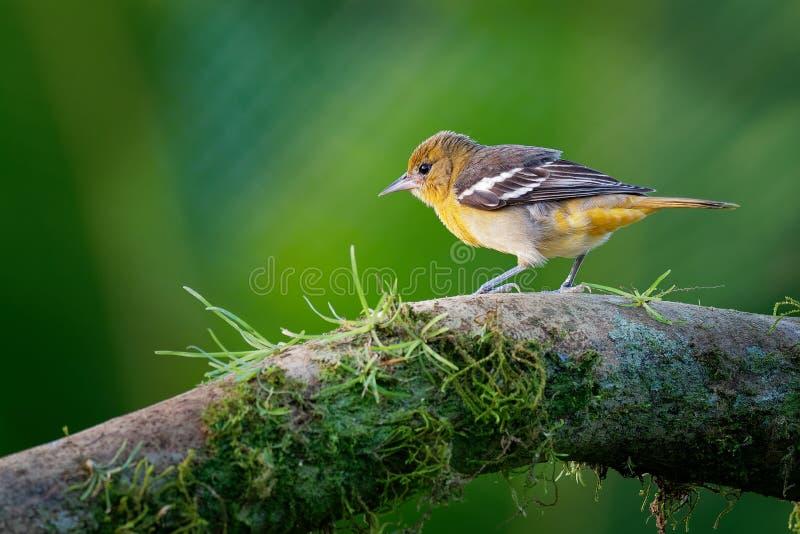 Petit merle d'icterid commun en Amérique du Nord orientale comme oiseau de multiplication migrateur photos libres de droits
