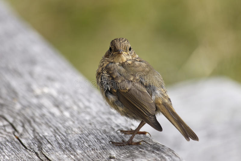 Petit oiseau photos stock