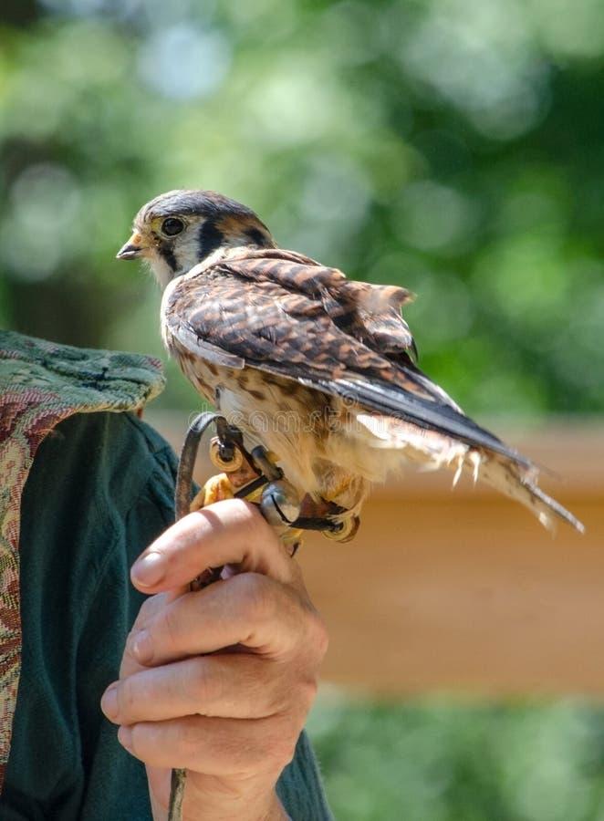 Petit oiseau américain de crécerelle sur une main images libres de droits