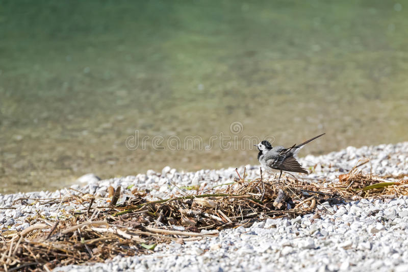 Petit oiseau blanc mignon de hochequeue remuant sa queue par le lac dans A photo libre de droits