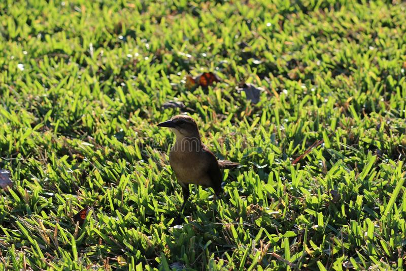 Petit oiseau brun images stock