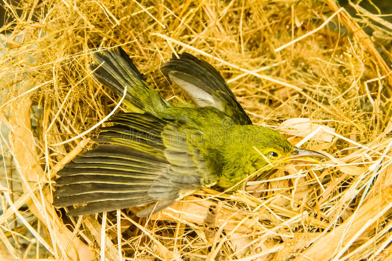 Petit oiseau dans le nid photos libres de droits