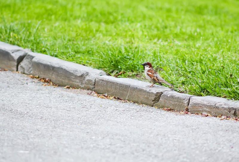 Petit oiseau de moineau marchant sur la restriction du parc de lit de fleur au printemps photographie stock libre de droits
