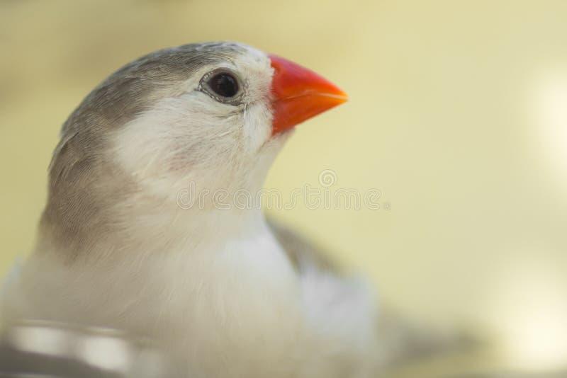 Download Petit oiseau de pinson photo stock. Image du blanc, orange - 77156880