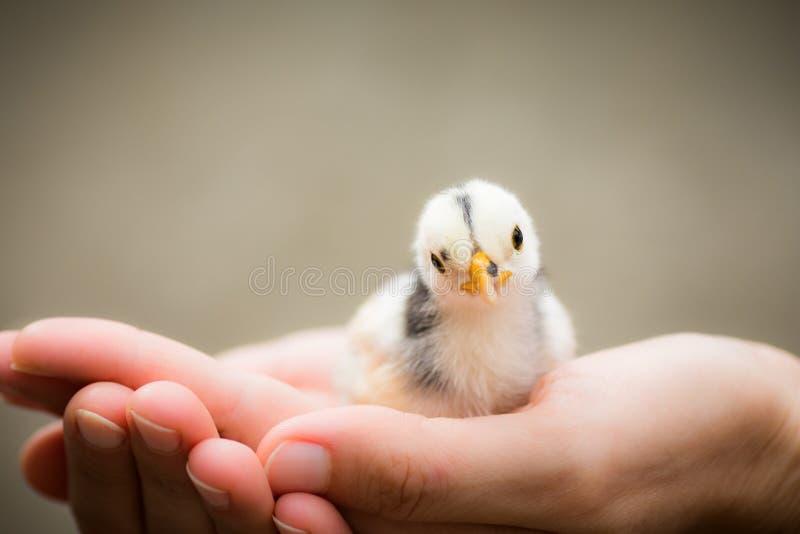 Petit oiseau de poussin dans des mains photo libre de droits