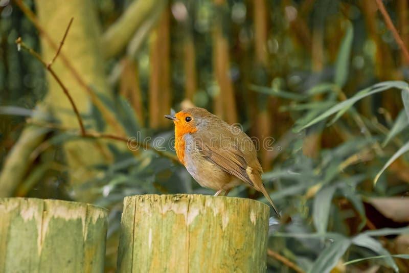 Petit oiseau de Robin Red Breat image stock