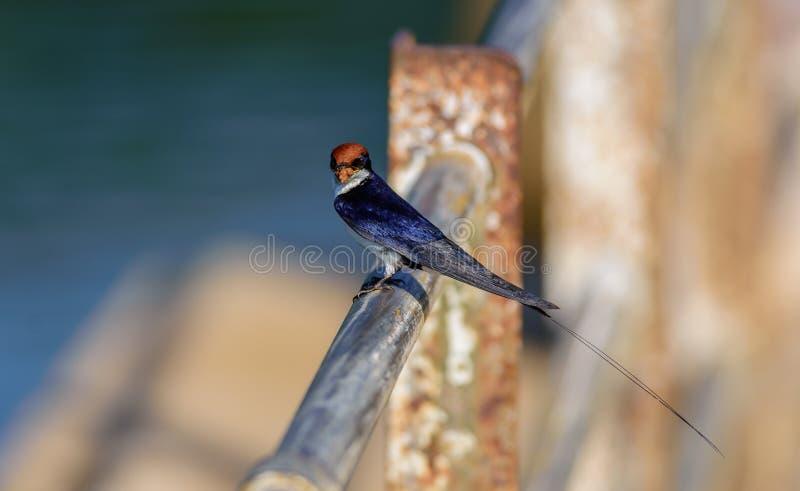Petit oiseau, hirondelle Fil-coupée la queue, smithii de Hirundo, été perché photo stock