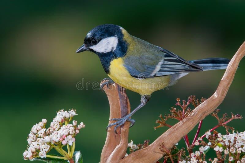 Petit oiseau jaune dans la branche photos libres de droits