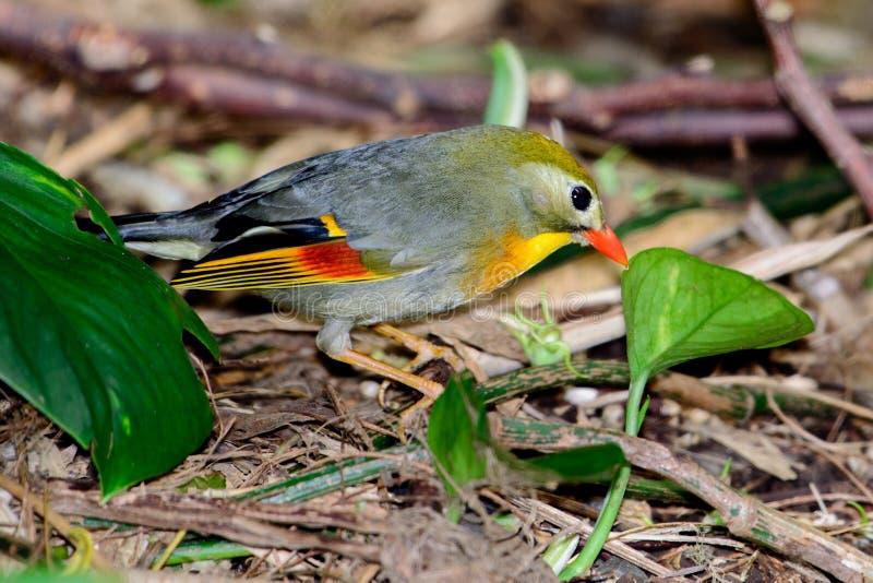 petit oiseau tropical Rouge-affiché de leiothrix (lutea de Leiothrix) image stock