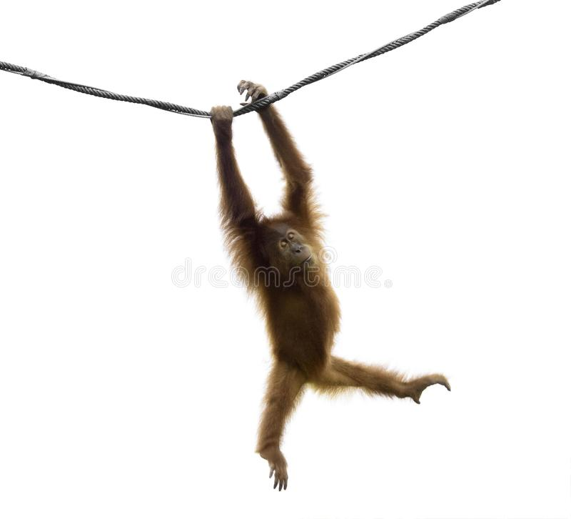 Petit orang-outan d'isolement dans une pose drôle image libre de droits