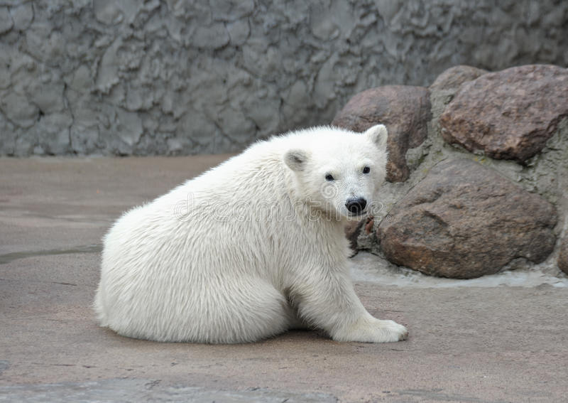 Petit ours blanc image libre de droits