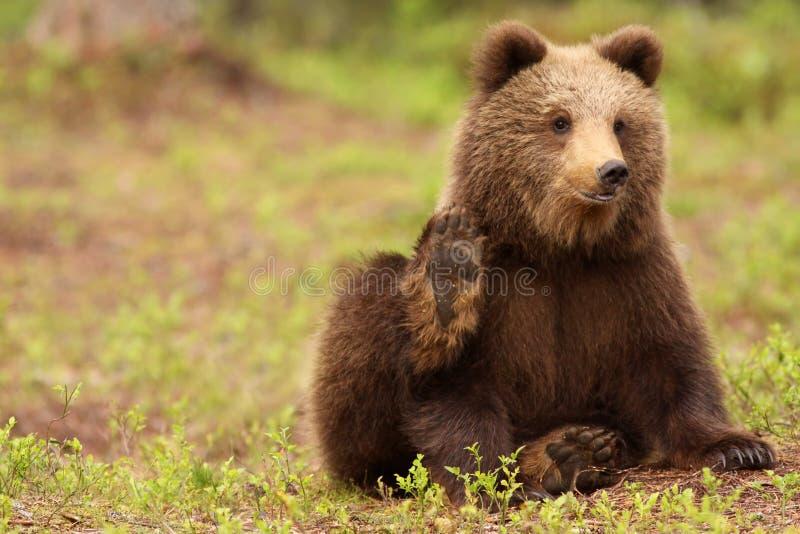 Petit ours brun mignon regardant et ondulant vous photographie stock