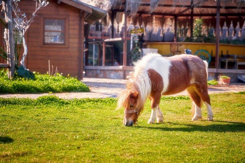 Petit pâturage rouge de poney image stock