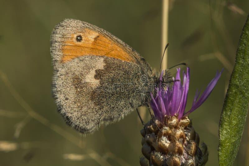 Download Petit Papillon De Bruyère (pamphilus De Coenonympha) Photo stock - Image du papillon, pâturage: 76075124