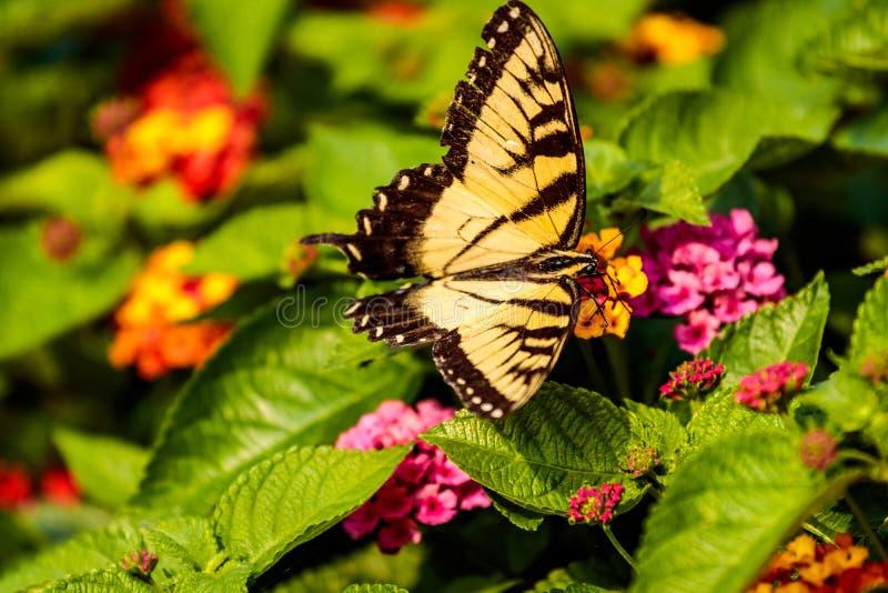 Petit papillon jaune sur les feuilles vertes photographie stock