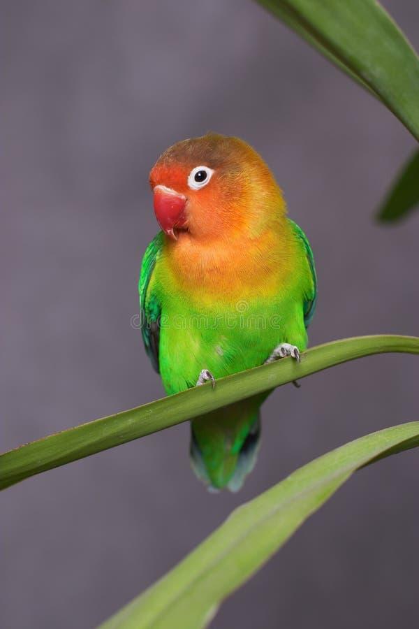 Petit perroquet image stock image du color int rieur for Oiseau domestique interieur