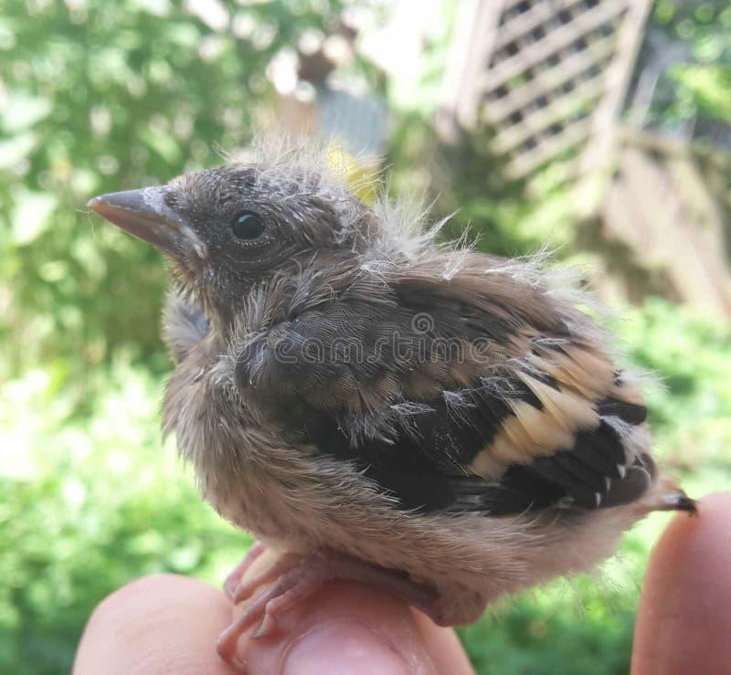 Petit pigeon photos libres de droits