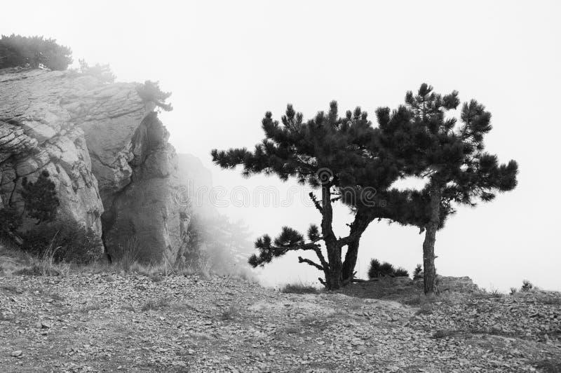 Petit pin sur la falaise en brouillard dense photographie stock