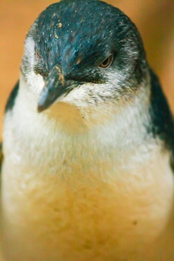 Petit pingouin australien images stock