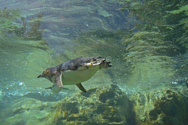 Petit pingouin nageant loin dans l'eau photographie stock