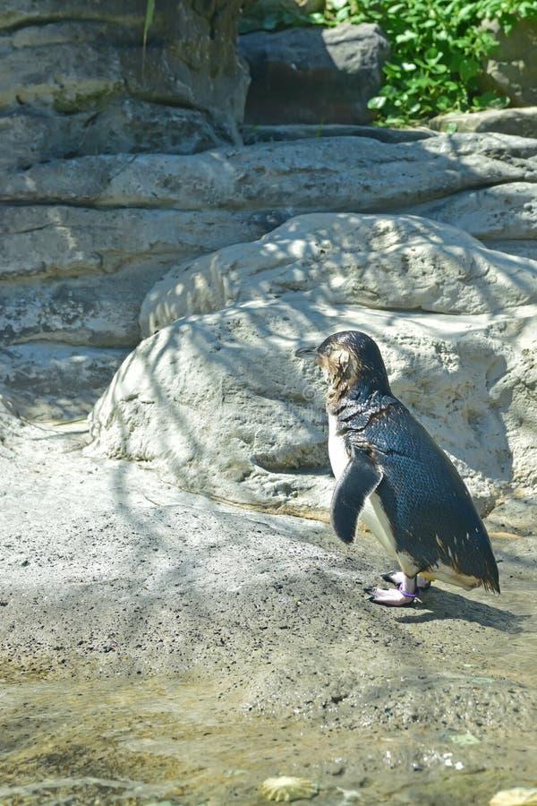 Petit pingouin recherchant une nuance un après-midi chaud d'été photographie stock libre de droits