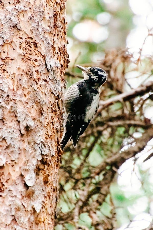 Petit pivert mignon été perché du côté d'un arbre images stock