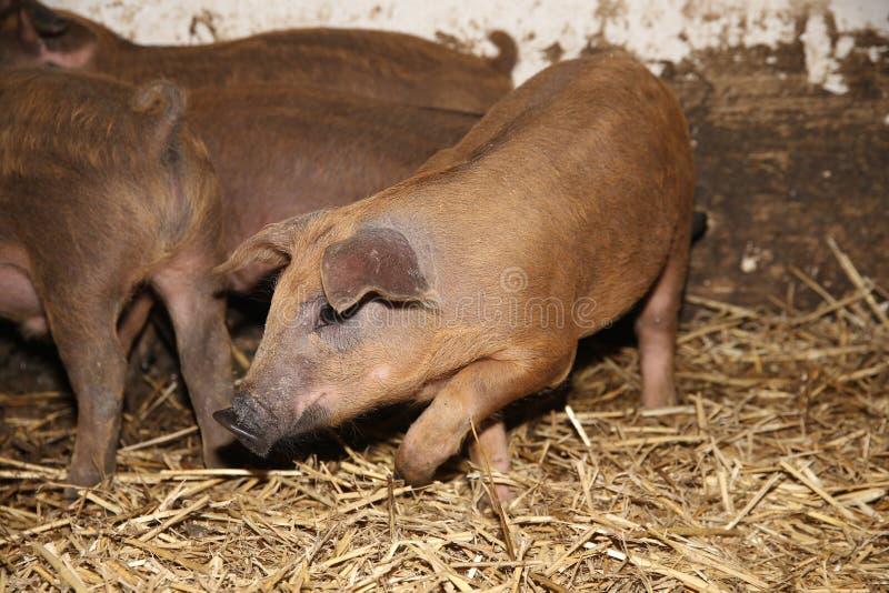 Petit plan rapproché de porcs à la scène rurale de la ferme d'animaux image libre de droits