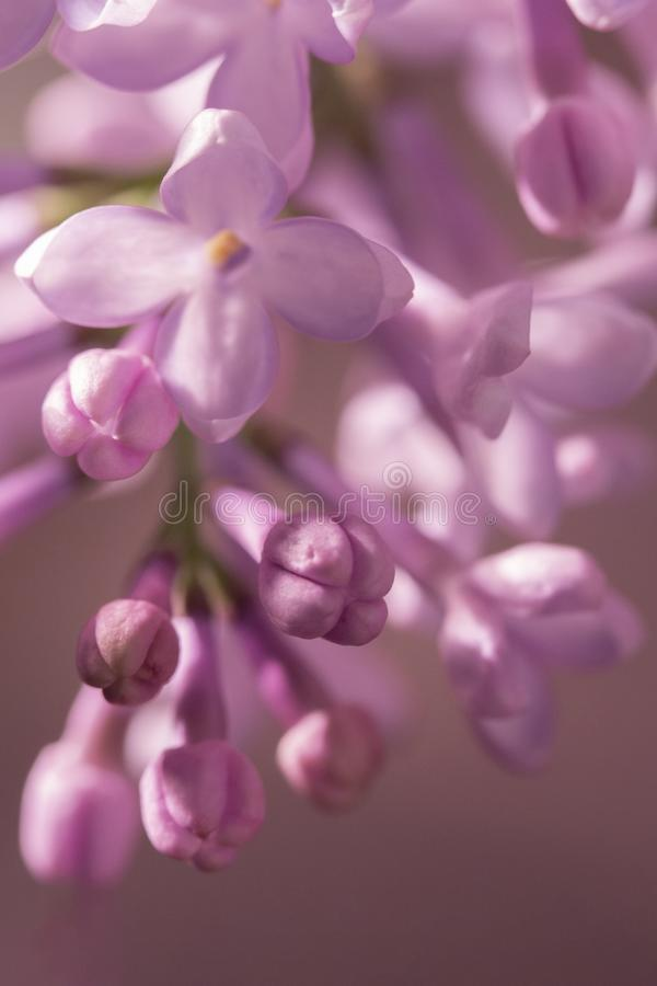 Petit plan rapproché tendre de bourgeons Beau fond brouillé, petits fleurons lilas pourpres non-ouverts photographie stock libre de droits