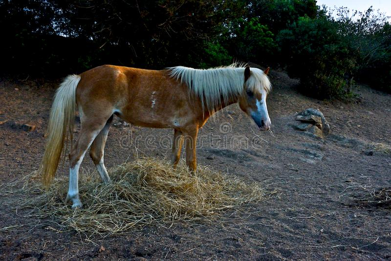 Petit poney brun avec la crinière blonde photo stock