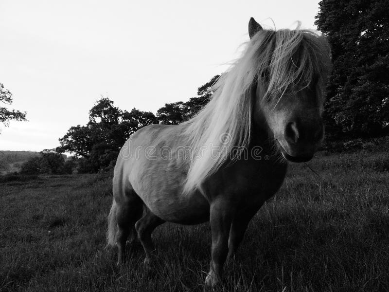 Petit poney dans le domaine images stock