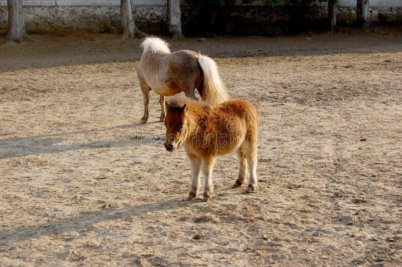 Petit poney dans le pré image stock