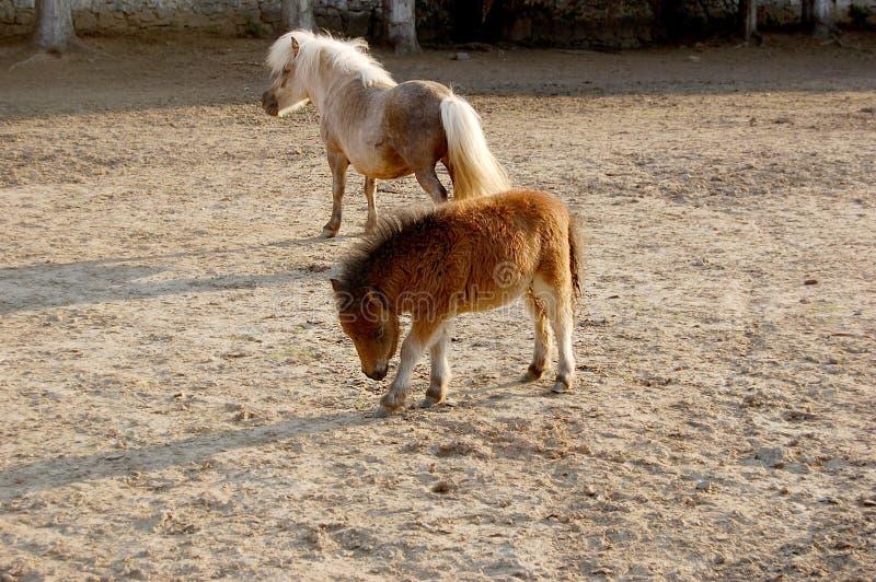 Petit poney dans le pré photo stock