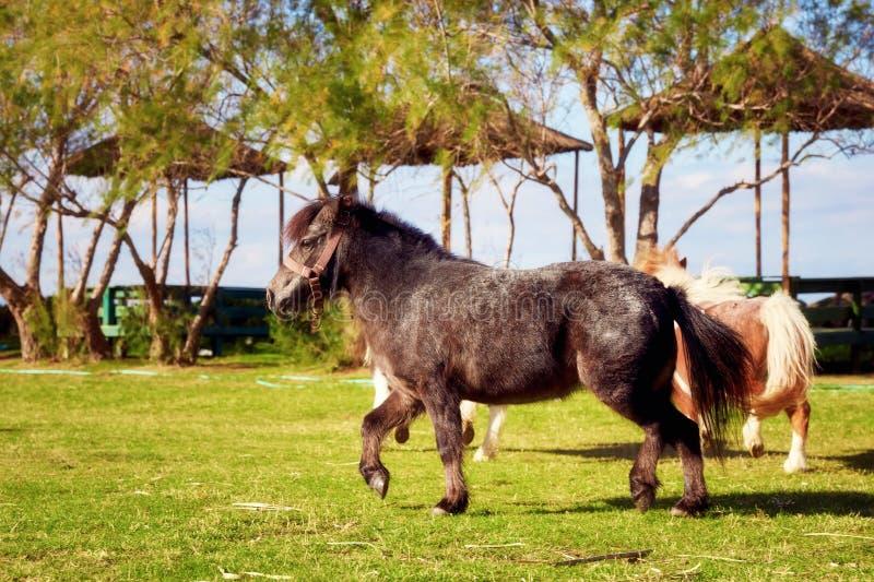 Petit poney noir photo libre de droits