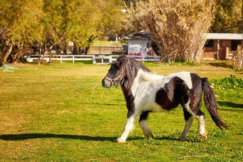 Petit poney noir et blanc image stock
