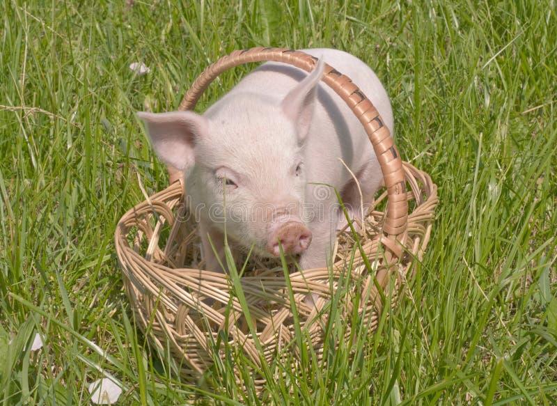 Petit porc image stock