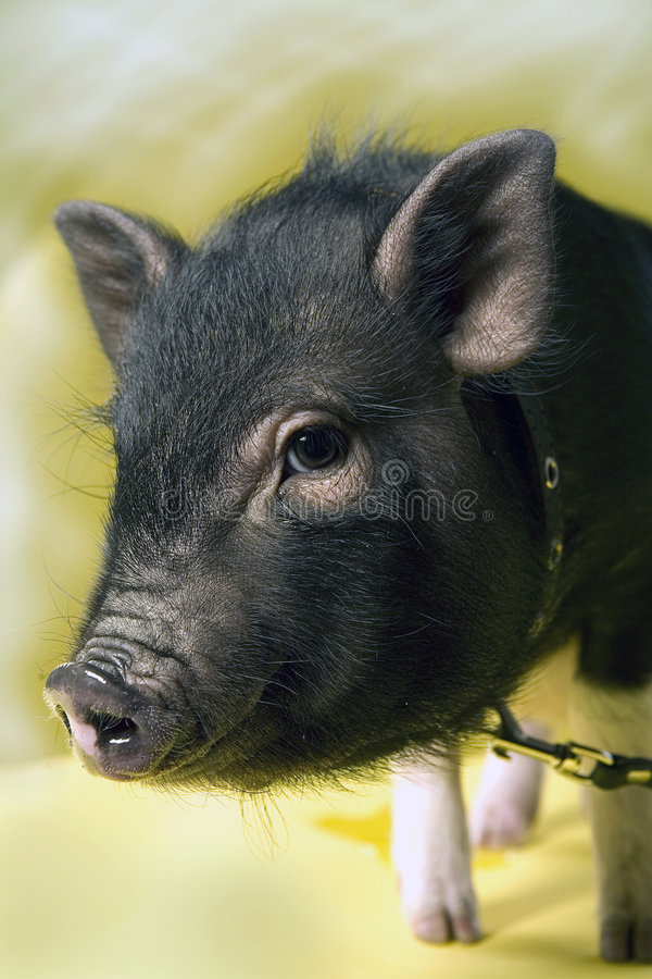 Petit porc photo stock