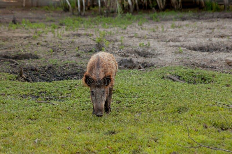 Petit porc sauvage frôlant satisfait sur l'herbe photos stock